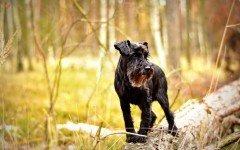 Razze cani: il cane Schnauzer carattere e prezzo