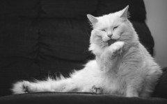 Malattie del gatto: le forme più comuni malattie gatto