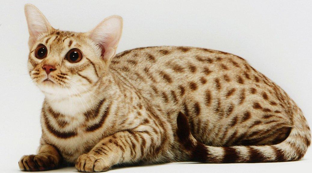 gatto Ocicat razze di gatti