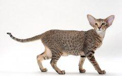 gatto orientale razze di gatti
