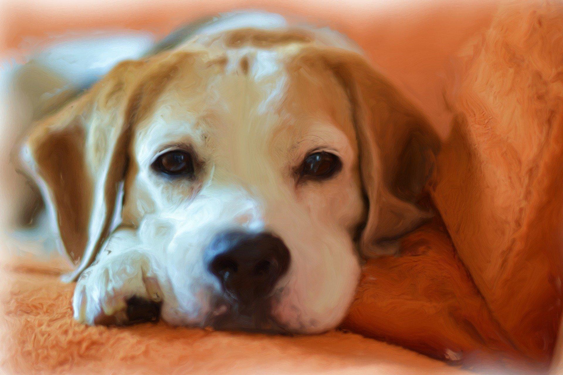 La vaginite del cane i sintomi, le cause e la terapia