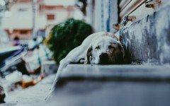 Leishmaniasis: enfermedad y trasmision en los perros contagiados