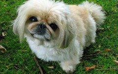 Razze cani: il cane Pechinese carattere e prezzo