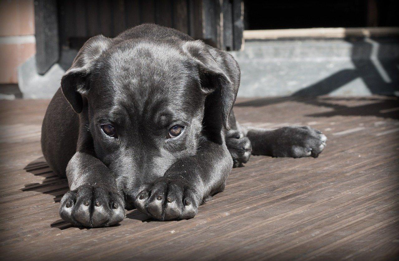 Malattie del cane: il diabete mellito