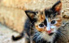 malattie gatti peritonite infettiva felina (FIP)