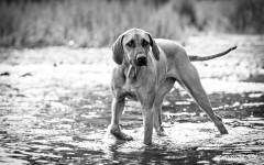 filariosi nei cani cura del cane malattie dei cani
