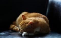 rinotracheite nel gatto malattie gatti