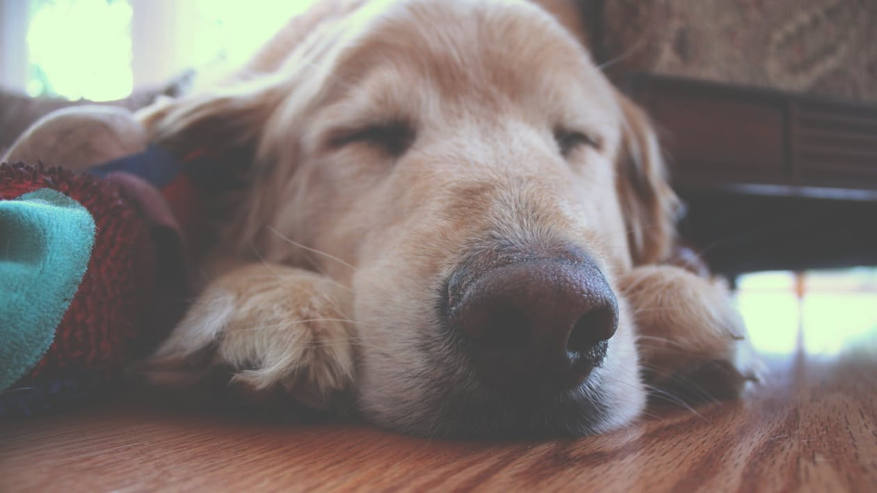 Malattie dei cani La borelliosi dei cani o malattia di Lyme