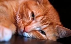 malattie del gatto la leucemia felina (FeLV)