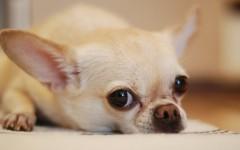 Filariosis canina: cómo evitarla y proteger a tu perro