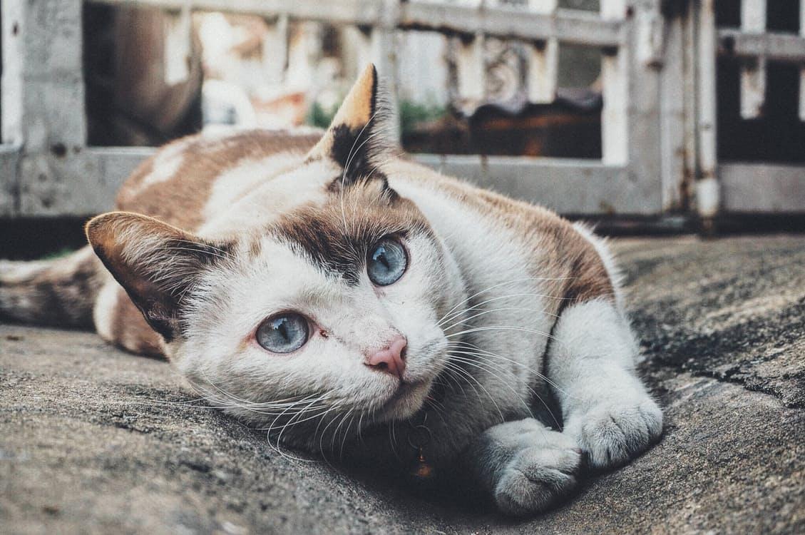 Malattie tiroidee del gatto: l' ipertiroidismo