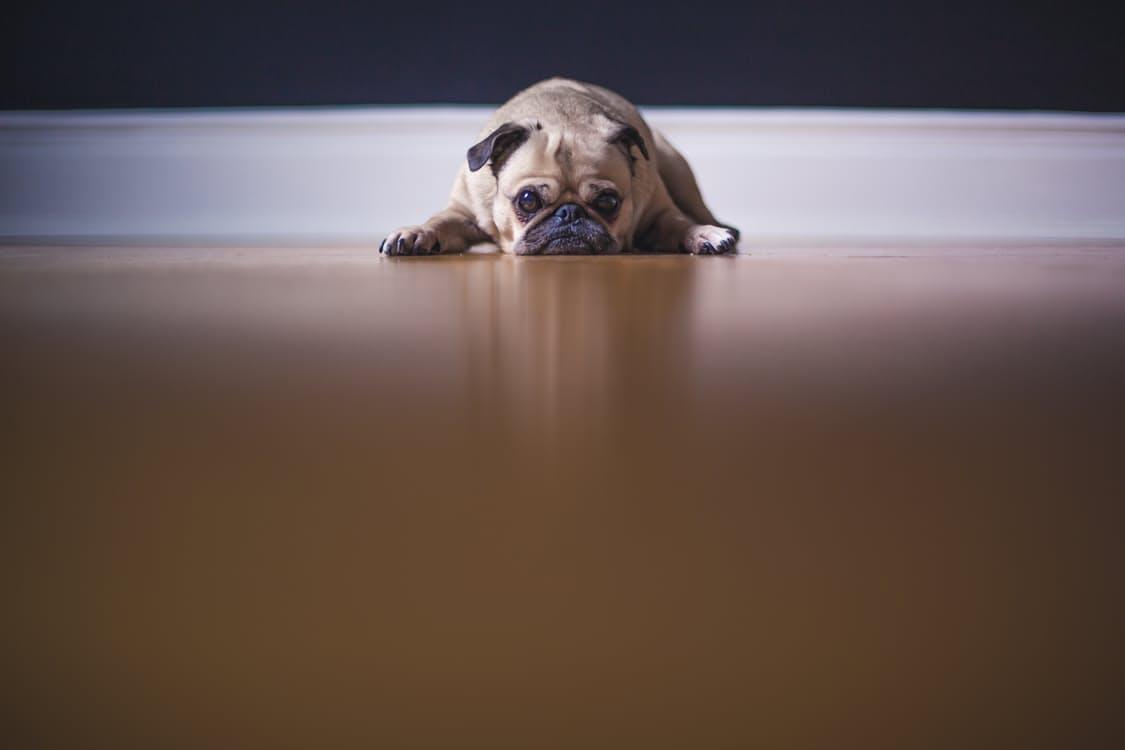 malattie dei cani cura del cane