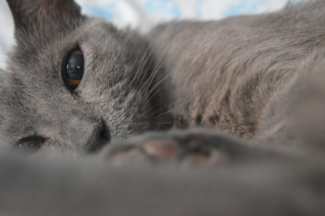 vaccini per gatti vaccini obbligatorie vaccini facoltativi