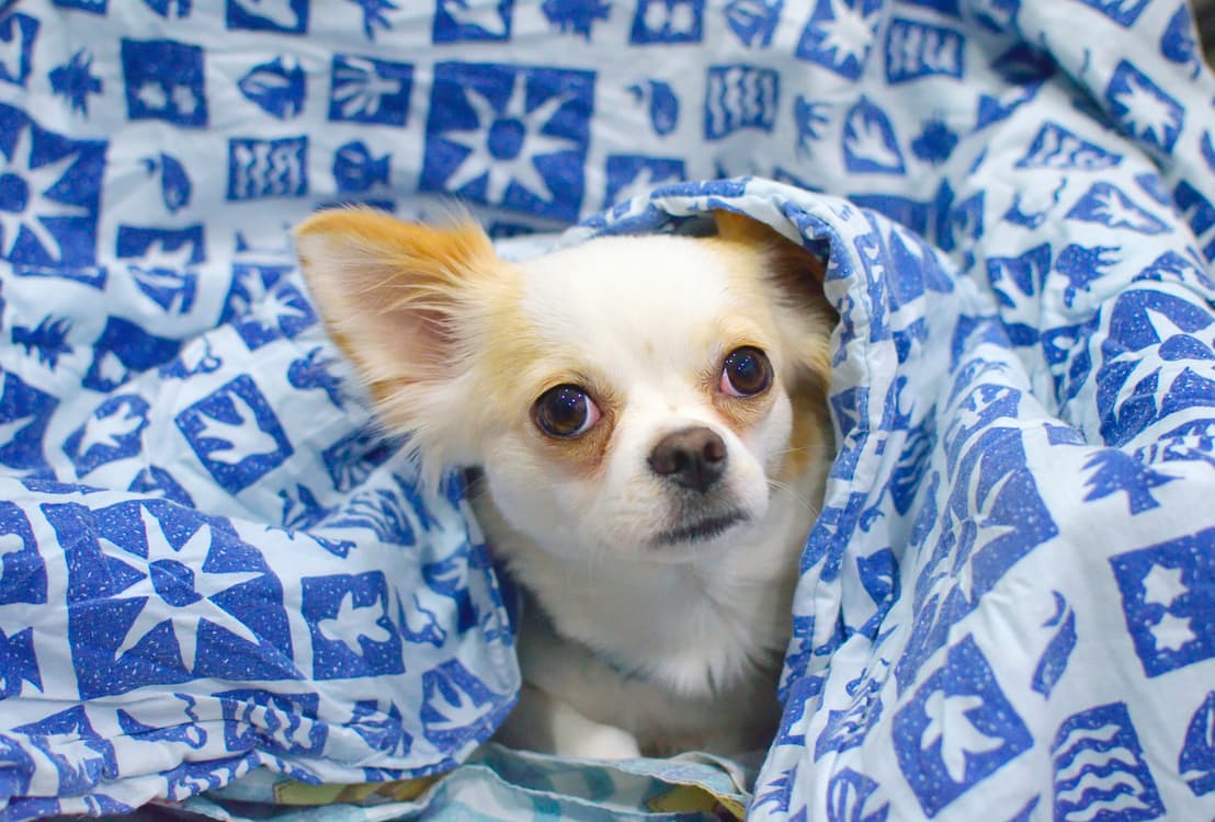 I cani di piccola taglia: razze e caratteristiche - Dogalize
