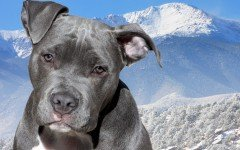 American Pitbull Terrier: fuerza y músculo en un solo perro perros American Pitbull Terrier