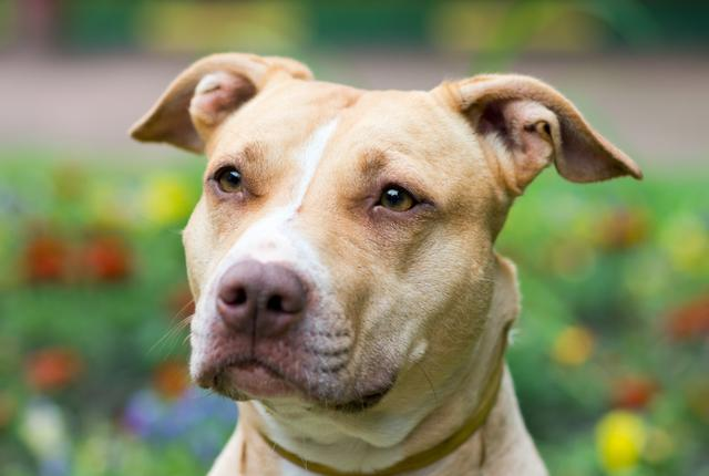 Dog breeds: American pit bull terrier