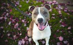 Dog breeds: pit bull