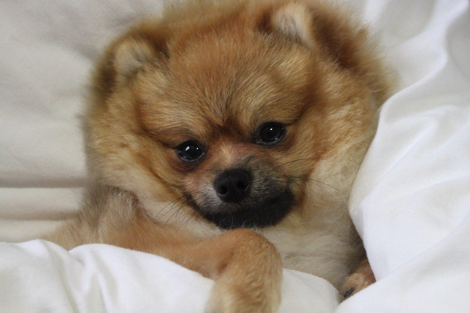 Razze cani il cane volpino carattere e prezzo dogalize for Cane volpino