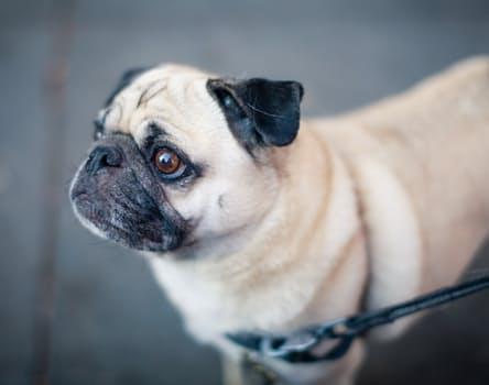 Pug: un simpático perro juguetón