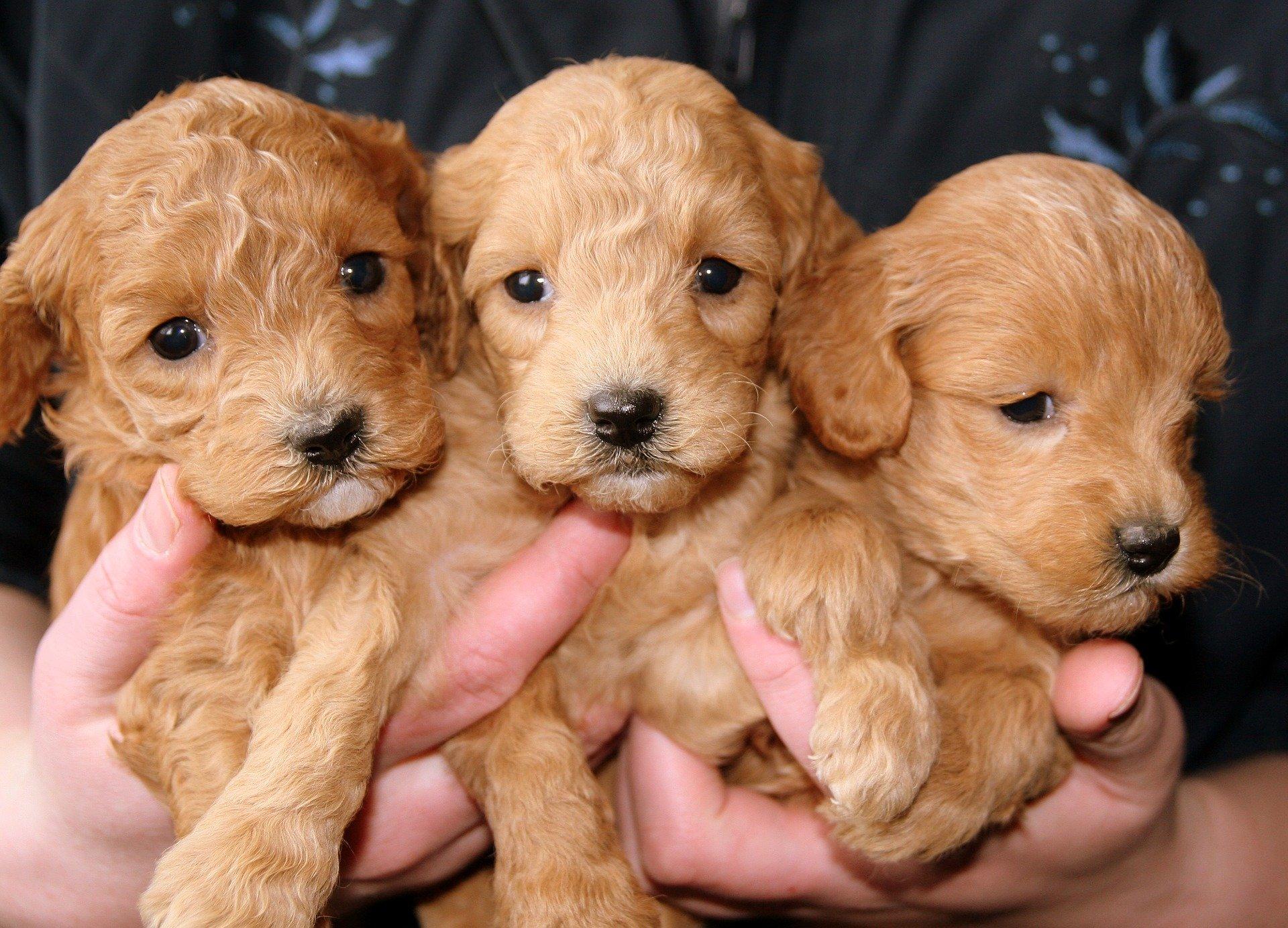 Come accudire i cuccioli di cane
