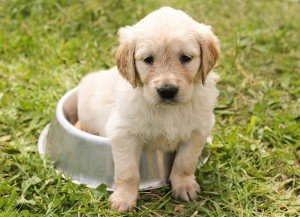 cucciolo golden retriever