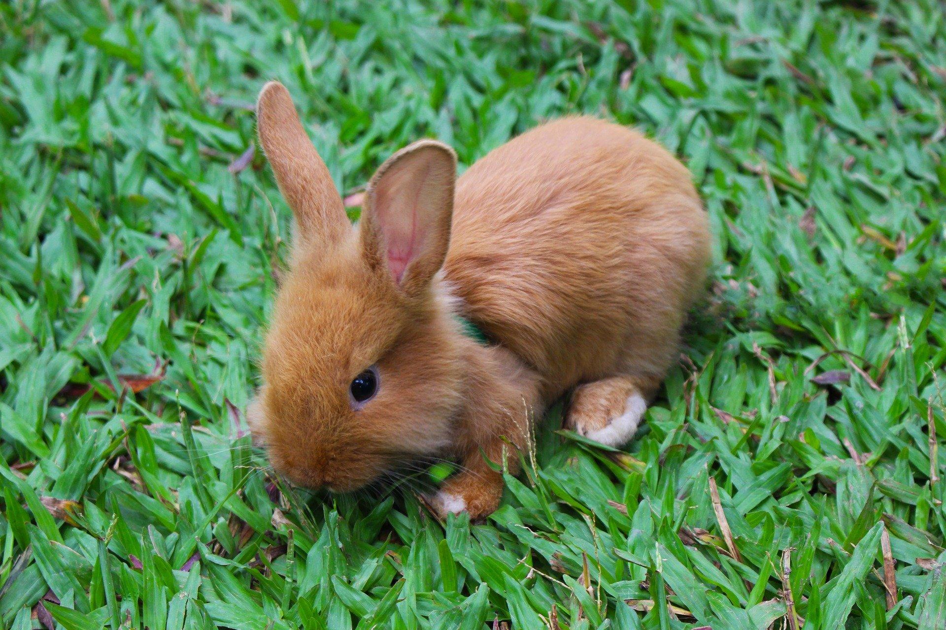 Razze di conigli: differenze e caratteristiche, coniglio nano