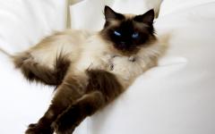 gatto Ragdoll razze gatti