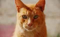 Gatti rossi: correlazione tra colore e tratti caratteriali