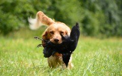 Le caratteristiche dei cani da caccia