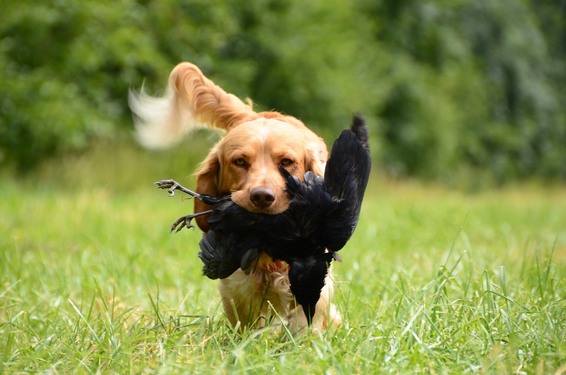 Training A Bird Dog To Retrieve