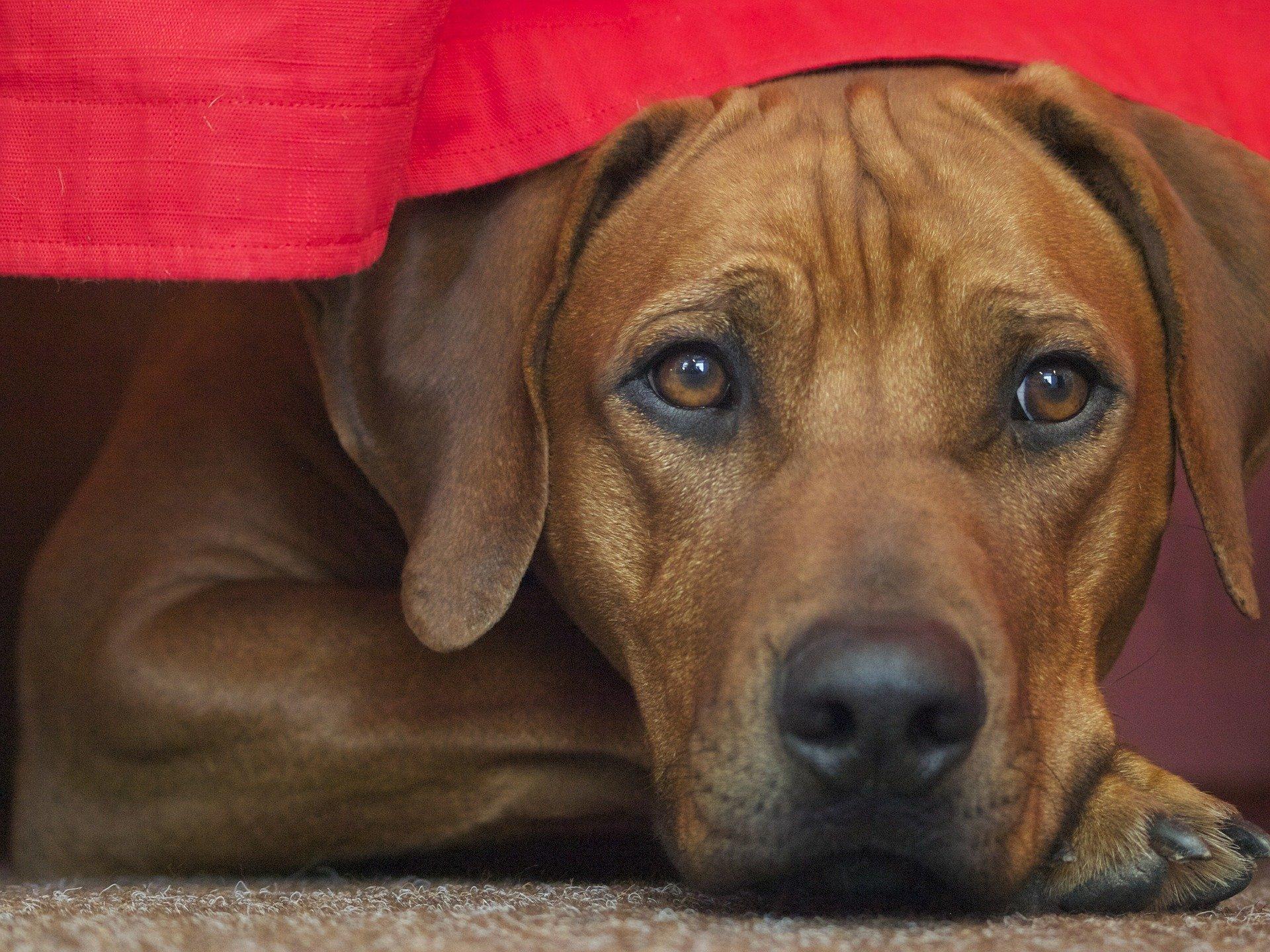 Razze cani: Rhodesian Ridgeback carattere e prezzo