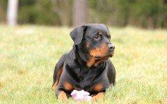 Razze cani: il cane Rottweiler carattere e prezzo