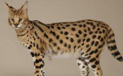 gatto Savannah razze di gatti