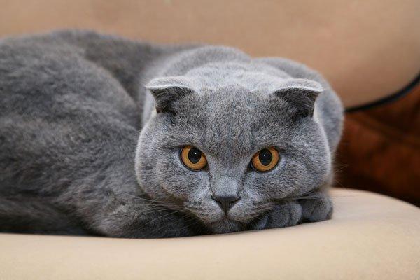 gatto Scottish Fold razze gatti
