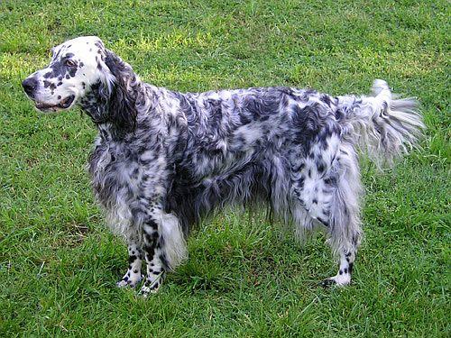Razze cani: il cane Setter Inglese carattere e prezzo