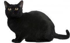 razze feline razze di gatto Bombay