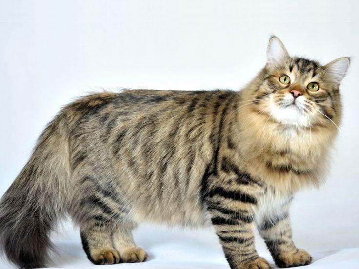 gatto siberiano razze gatti