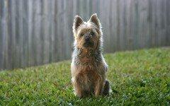 Australian Silky Terrier silky terrier australiano