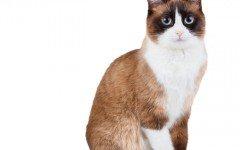 carattere del Snowshoe gatto Snowshoe razze di gatti