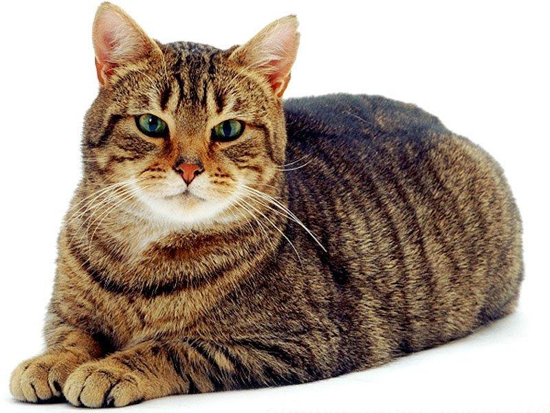 gatto Soriano razze gatti soriano gatto