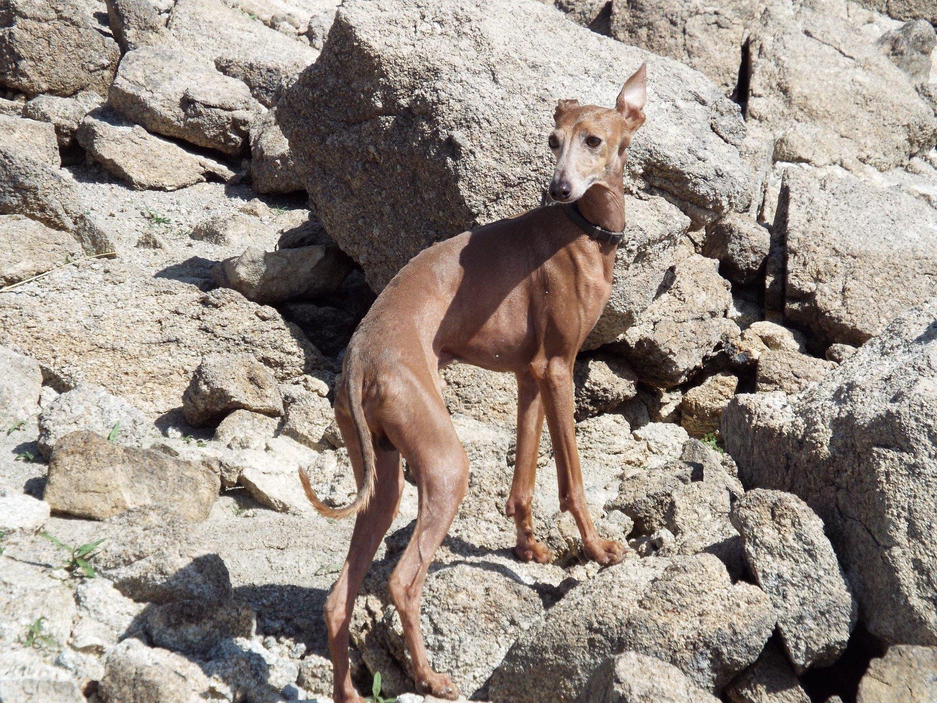 Razze cane: il cane Greyhound carattere e prezzo
