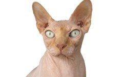 Gatto senza pelo: ecco alcune razze singolari