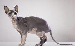 Sphynx Cat gatto Sphinx razze gatti