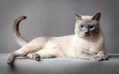 gatto Thai razze gatti