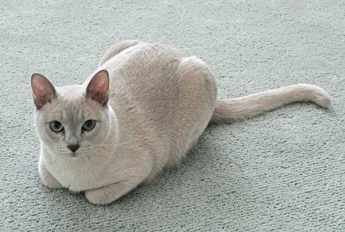 gatto Tonkinese razze gatti
