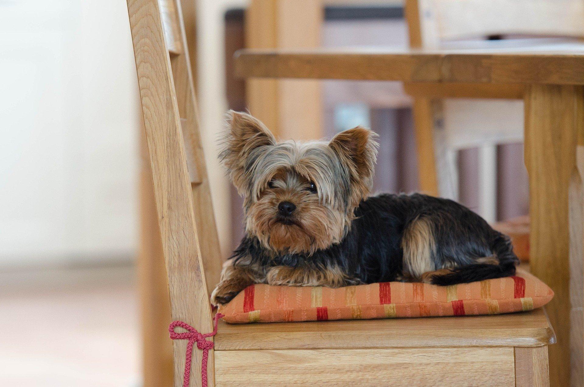 Razze cani: il cane Yorkshire carattere e prezzo