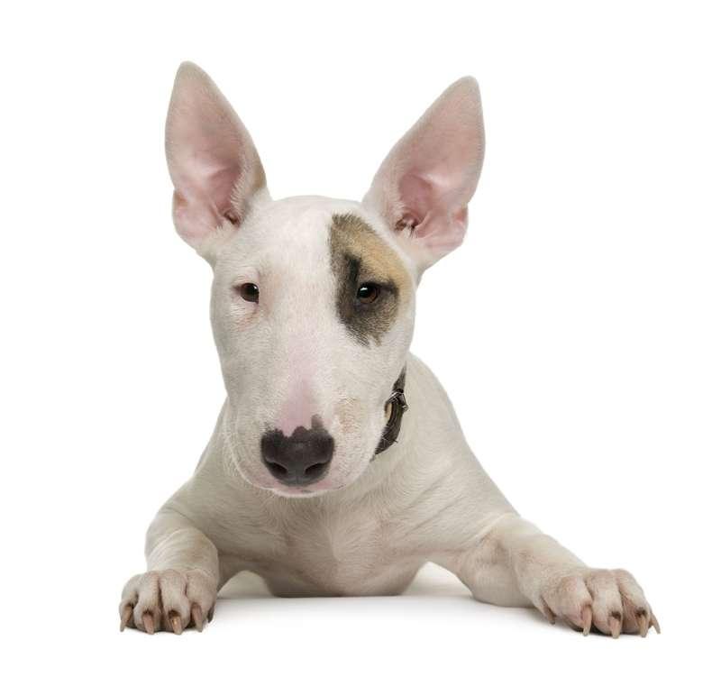 Razas de Perros: Bull terrier caracteristicas y cuidados