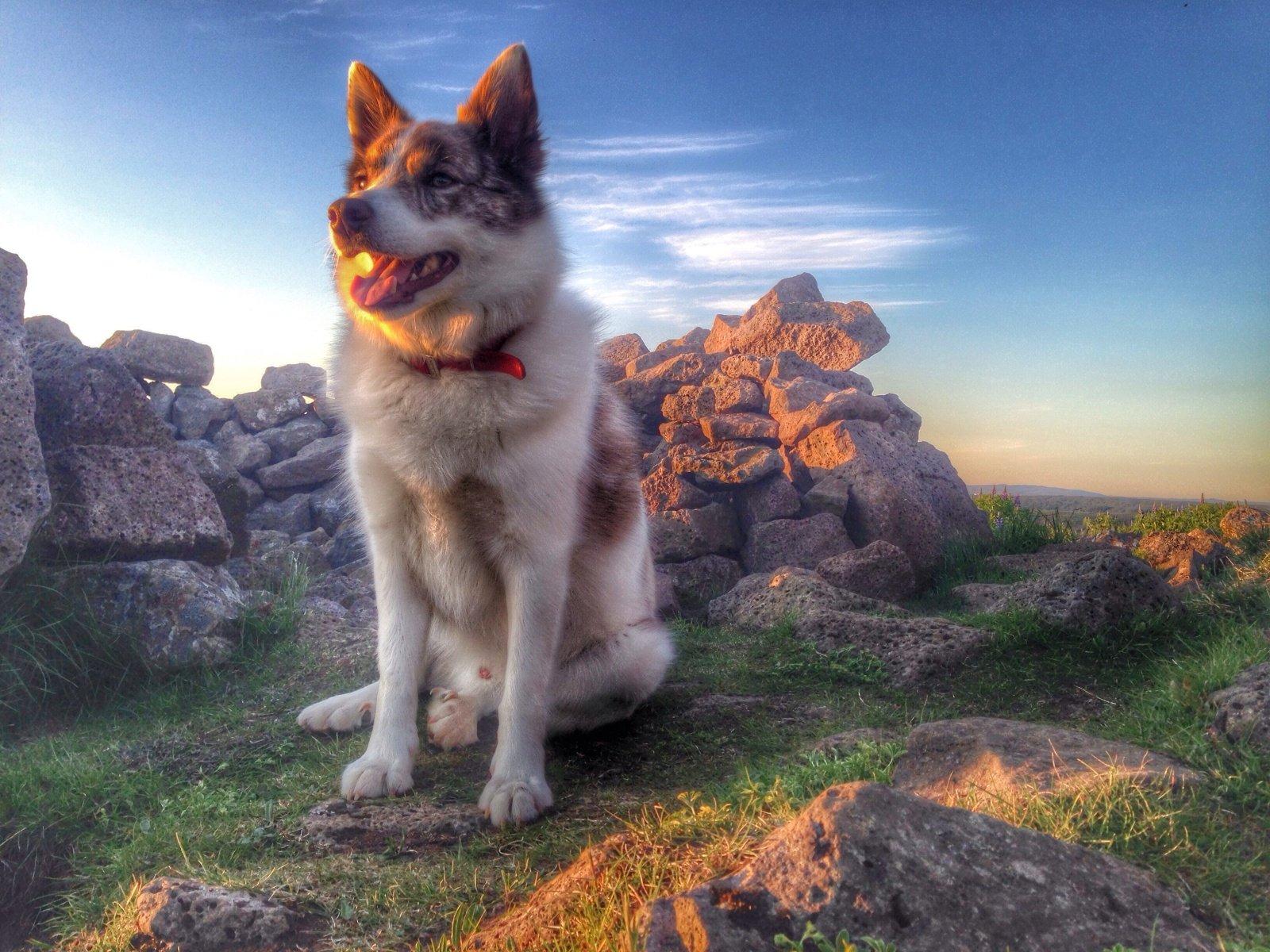 Icelandic Sheepdog breed