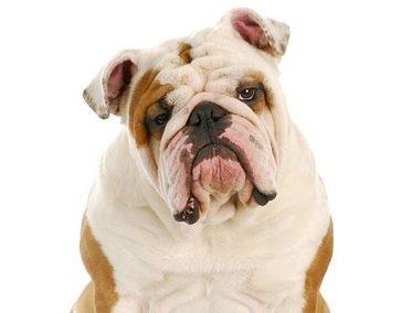 Razas de Perros: Bulldog inglés caracteristicas y cuidados