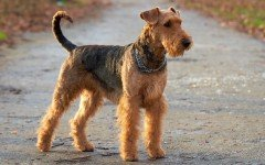 Dog breeds: discover the biggest Terrier, the Airedale Terrier!